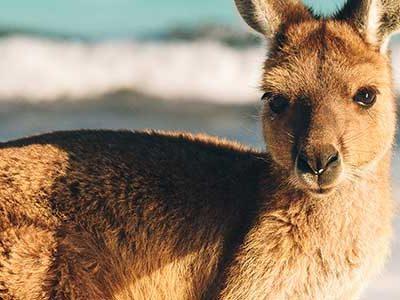 3515513366614-australia-canguro-spiaggia-1.jpg